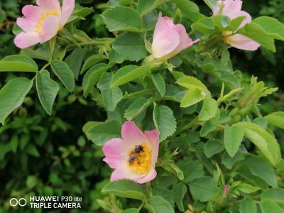 Капчици и пчели