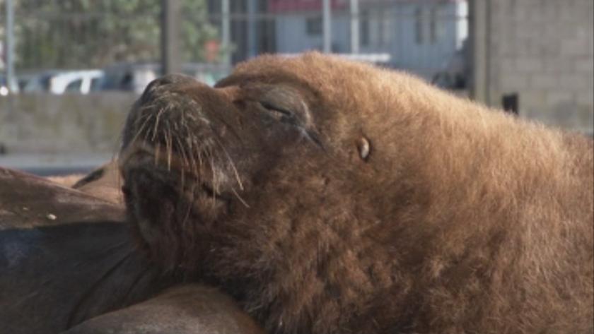 Морски лъвове превзеха улиците на аржентински град
