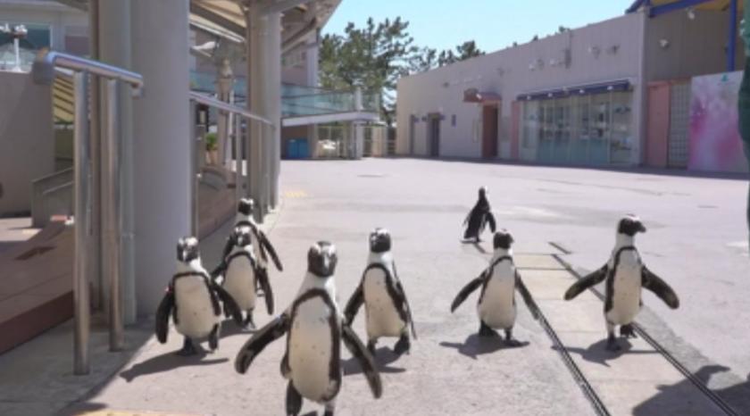 Пингвини се разхождат свободно в зоопарк в Япония