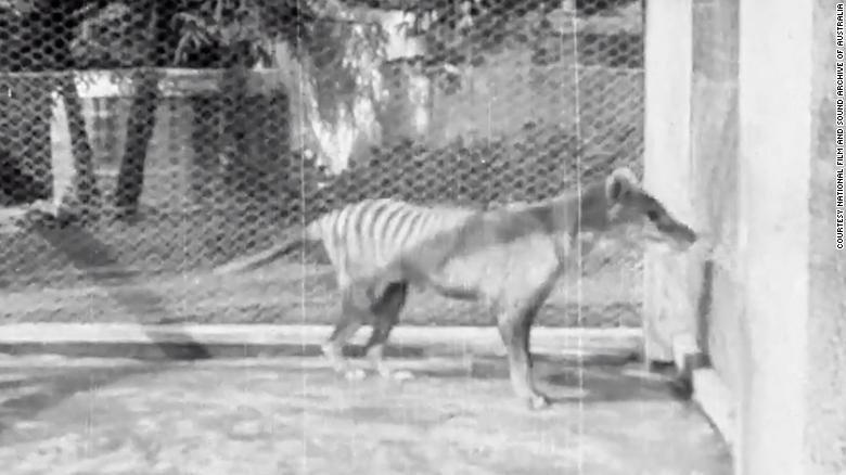 Пуснаха кадри на последния тасманийски вълк