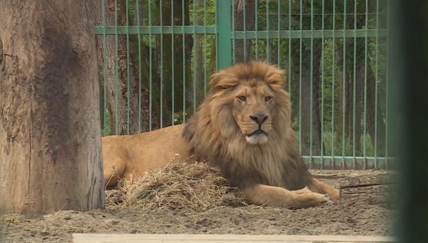 Лъвът Любо се чувства добре, с партньорката му Ева все още са на специална диета
