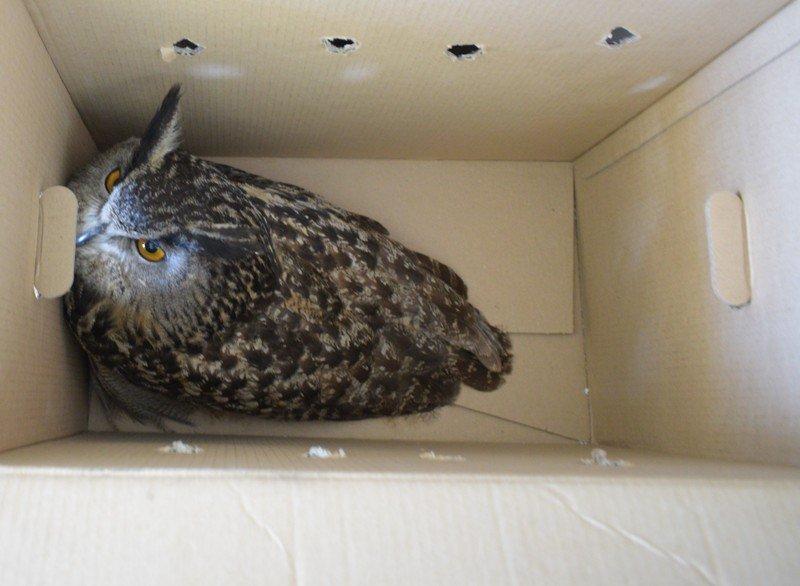 възрастен бухал проблем крилото получи шанс лечение стара загора