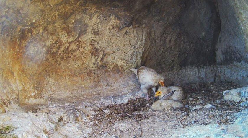 Бебе египетски лешояд се излюпи в Провадия. Как се чувства и какво прави - гледайте на живо