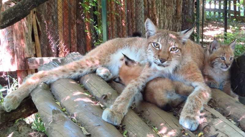 бебета критично застрашен вид рис родиха софийския зоопарк