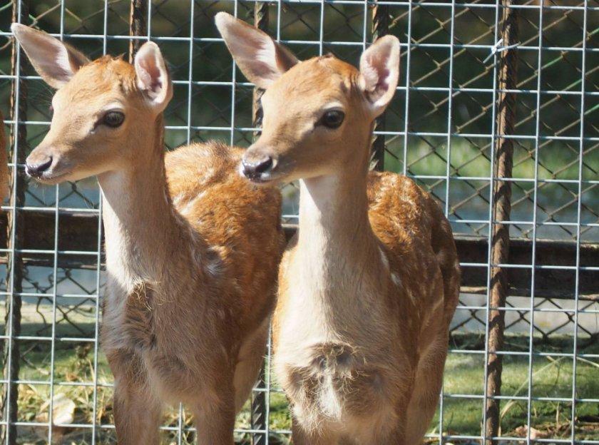 Две еленчета се родиха в зоопарка в Разград