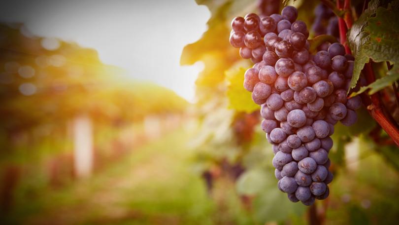 4 извънредни мерки са осигурени за гроздо и винопроизводителите през настоящата година