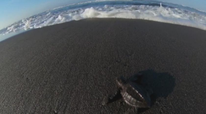 пуснаха новоизлюпени морски костенурки океана гватемала