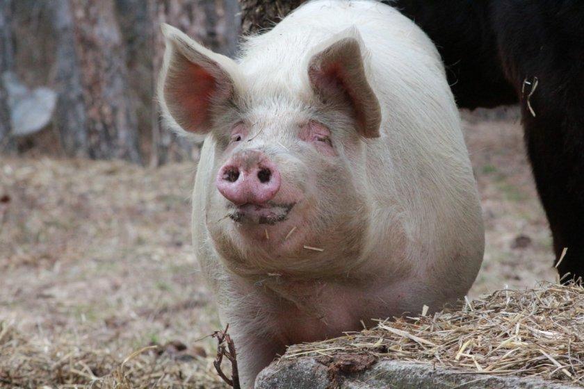 """""""Блумбърг"""": Случаи на африканска чума по свинете в Германия, в риск е най-големият износител на свинско месо в Европа"""