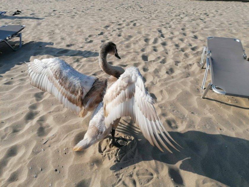 лебедите завърнаха черноморието