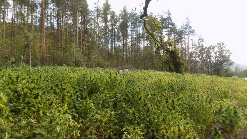 откриха плантация коноп варненско
