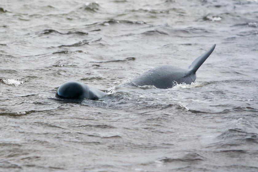 нова операция спасяване китове нова зеландия