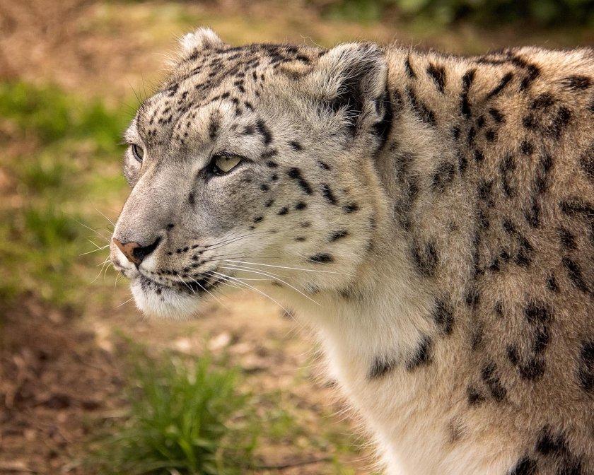 снежният леопард никс новият обитател софийския зоопарк