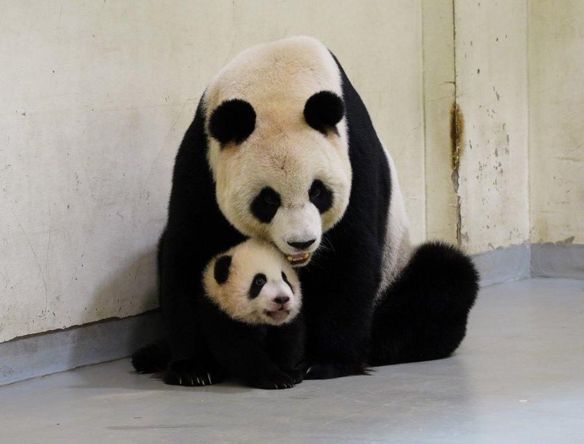 нидерландия радват бебе панда мъжки пол