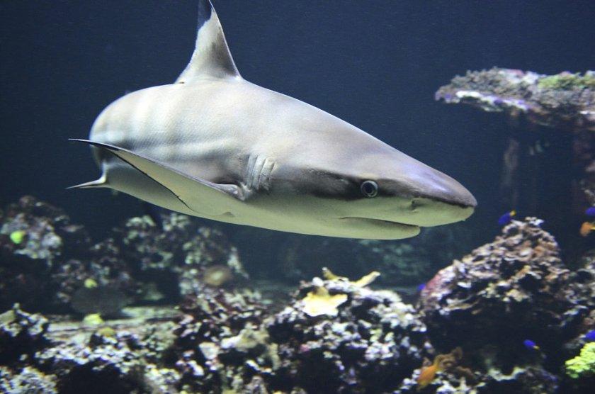 плувец загина атака акула нова каледония