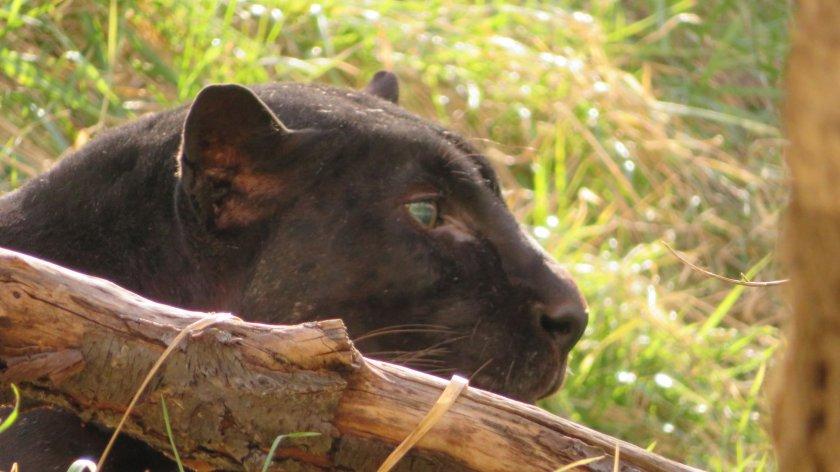 черната пантера окичуко софийсикя зоопарк почина преклонна възраст години