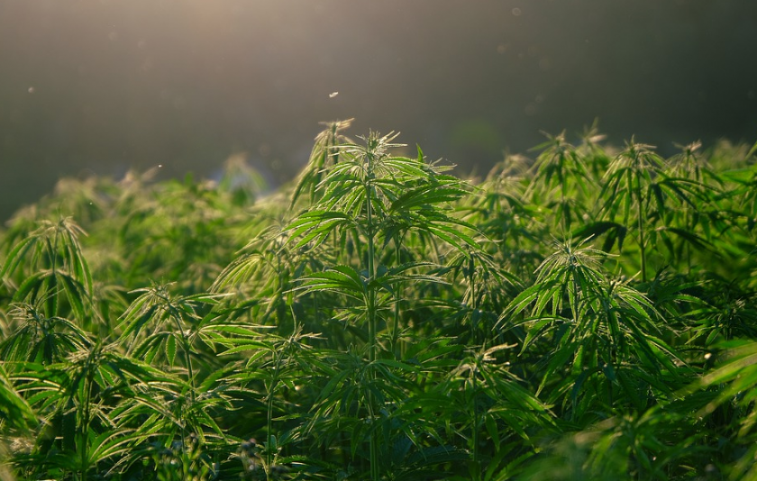 Щатът Ню Йорк легализира марихуаната за развлечение