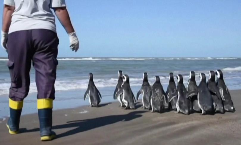 12 магеланови пингвина бяха пуснати в океанските води край Сан
