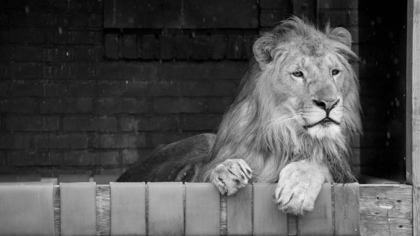 Спасеното от Зоокът Разград през 2018 г. лъвче Терез почина