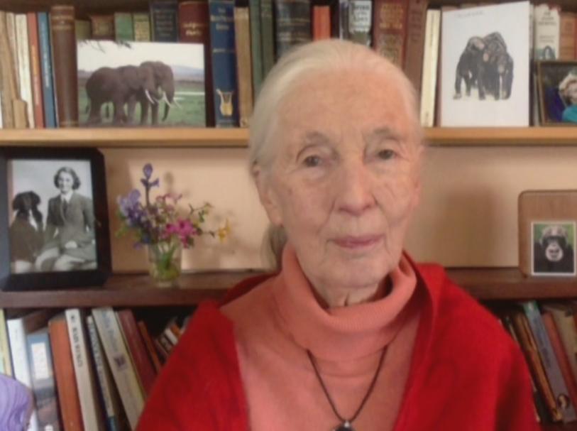 Една чудна история за Джейн Гудол и шимпанзетата. Тя живя