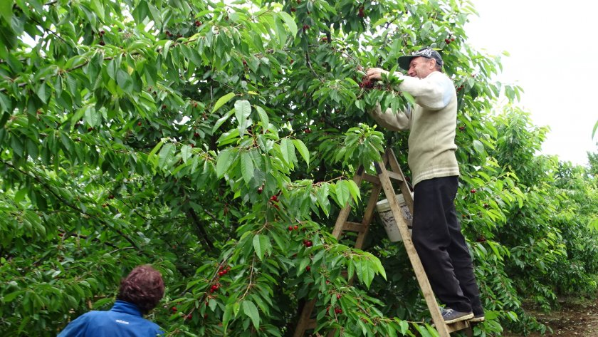 Липсват качествени сезонни работници за бране на череши