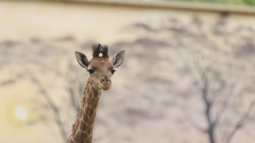Бебе жираф се роди в зоопарк във Франция (СНИМКИ)