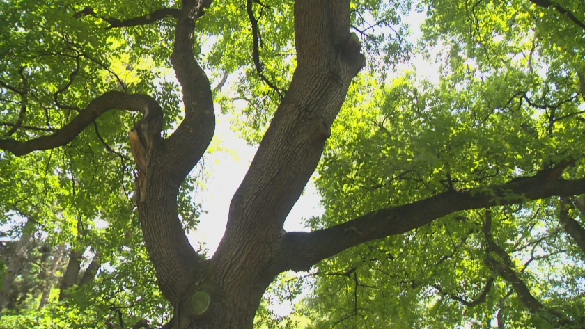 Над 1000 дървета в София вече са отбелязани на нова