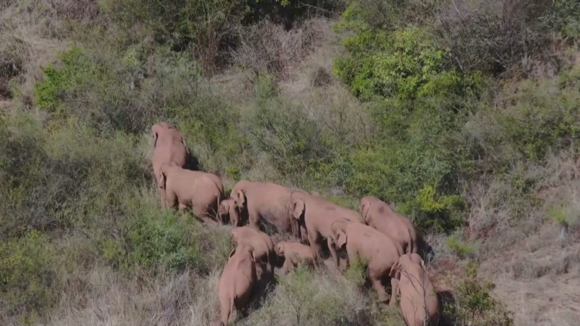 пътешествие слонове китай превърна световна сензация