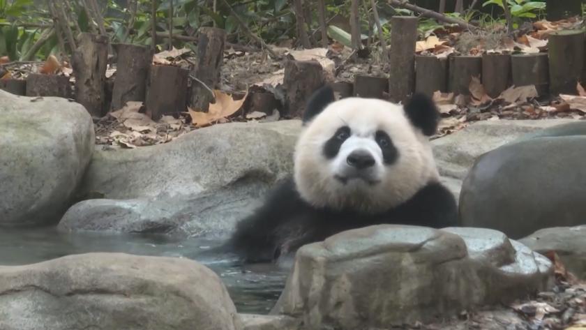 Музей на пандата отвори в китайската провинция Съчуан, където се