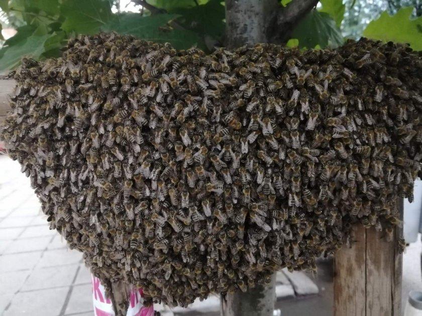 Голям пчелен рояк в близост до сградата на администрацията на