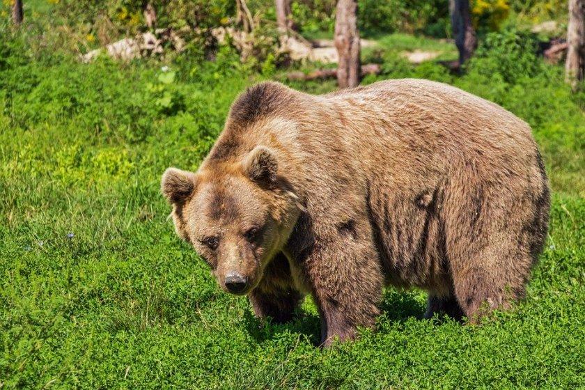 екоминистерството обсъдиха мерки защитения вид кафява мечка