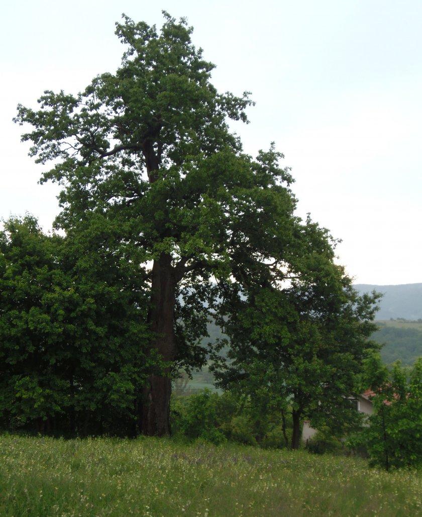 обявиха 300 годишен цер защитено дърво снимки
