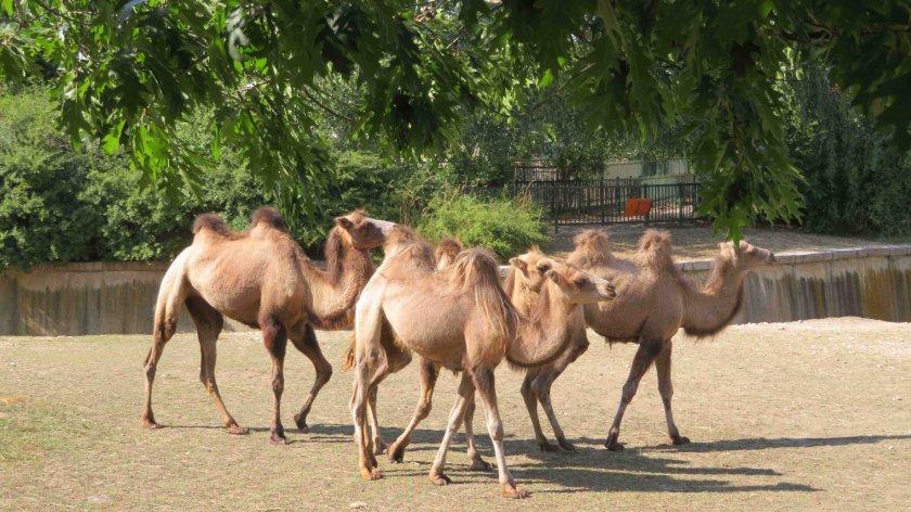 камили новите обитатели столичния зоопарк снимки