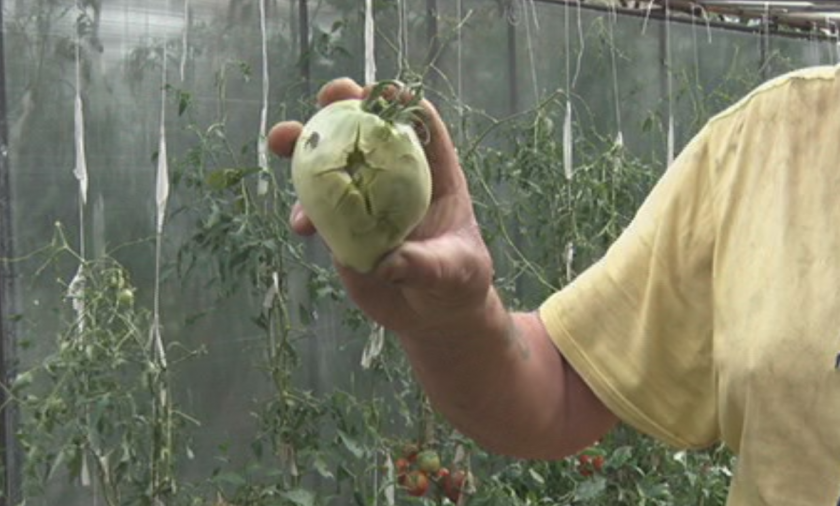 Стопани оглеждат за щети по реколтата след снощната градушка (Видео)