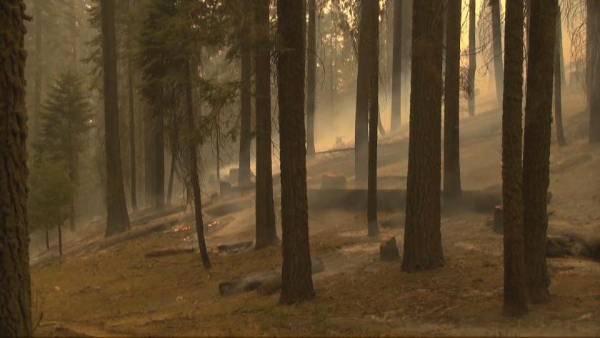 Спасиха най-голямото дърво в света от горските пожари в Калифорния
