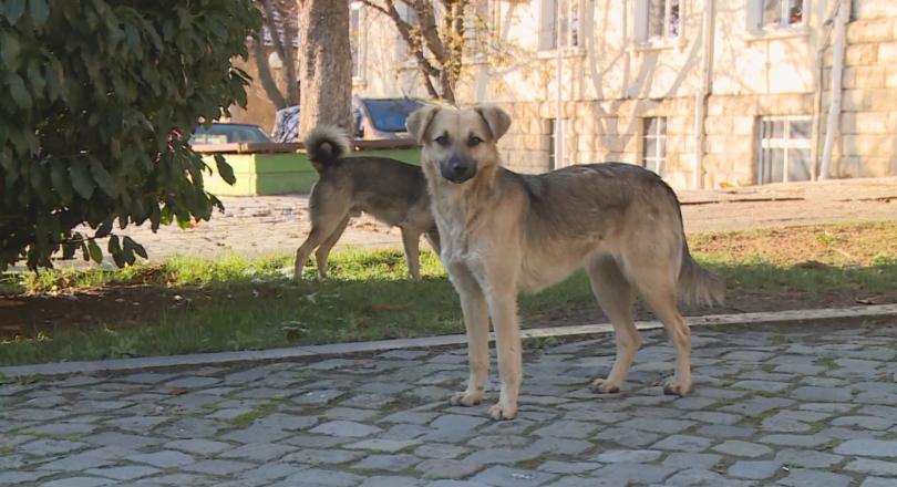 глутници бездомни кучета обикалят кварталите благоевград