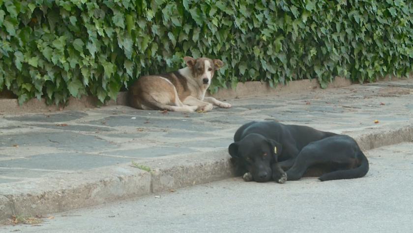 Проблем с бездомните кучета в Самоков - над 100 жалби от нападнати и ухапани граждани