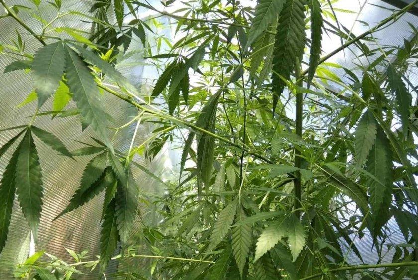 домашна оранжерия отглеждане растения рода конопа разкриха варненски полицаи