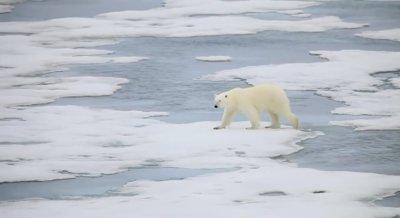Преброяват белите мечки в Русия
