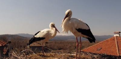 Как живеят щъркелите - уеб камера предава какво се случва в гнездото