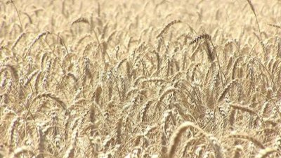 Русия спира износа на житни култури до 1 юли