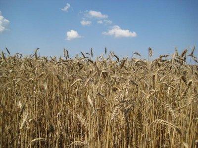 Сушата се отразява зле на посевите с пшеница в Добруджа