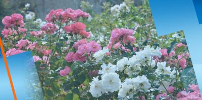 Розопроизводител в Карлово изкорени с багер над 25 дка масиви с маслодайна роза