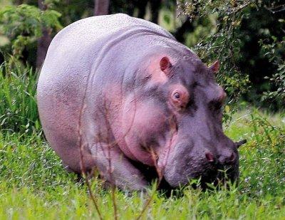 #60 секунди без COVID-19: В Колумбия се чудят какво да правят с хипопотамите на Пабло Ескобар