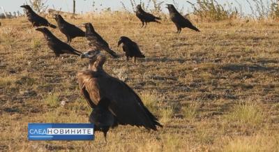 Лешоядът Ултрон - какво стои зад убийството на една защитена птица?