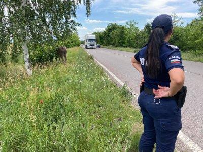 Безстопанствено малтретирано магаре на път до Казанлък (Снимки)