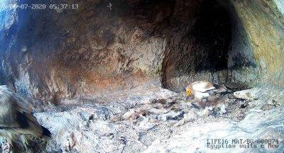 Бебе египетски лешояд се излюпи в гнездото на двойка от Провадия