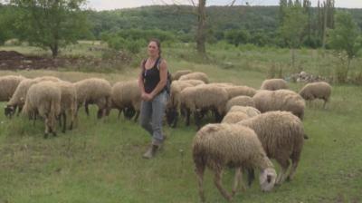 БСП атакува кабитета след решение на ВАС да отмени решението за избиване на овце в Ямболско