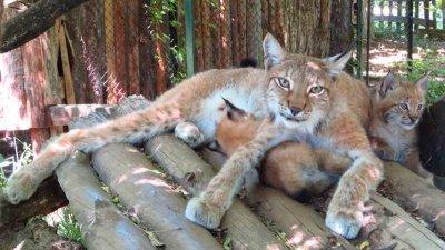 Бебета от критично застрашен вид рис се родиха в Софийския зоопарк