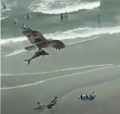 Орел сграбчи акула и прелетя с нея над оживен плаж (ВИДЕО)