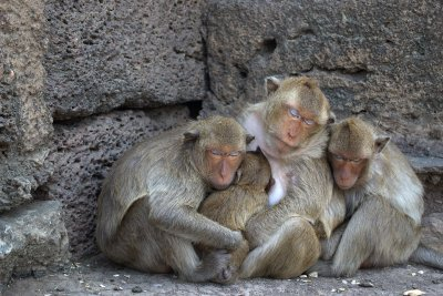 Маймуни, заразени с коронавирус, имат краткосрочен имунитет